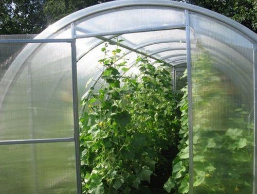 Выращиваем огурцы в полимерной теплице
