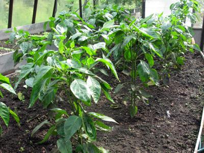 Учимся растить перец в теплице из поликарбоната
