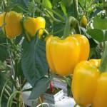 Учимся садить и растить перец в поликарбонатной теплице