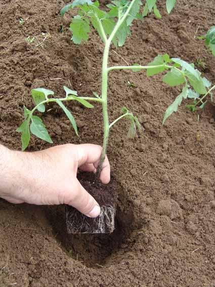 Высаживаем рассаду томатов в теплице