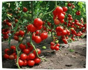 Урожай помидор в полимерной теплице