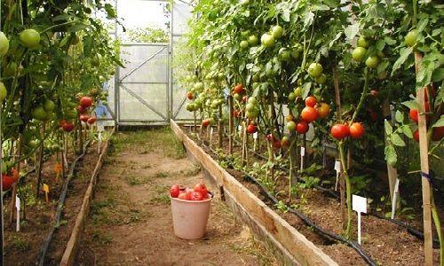 Оптимальная температура для томатов в полимерной теплице