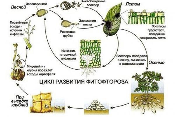 Схема возникновения фитофтороза