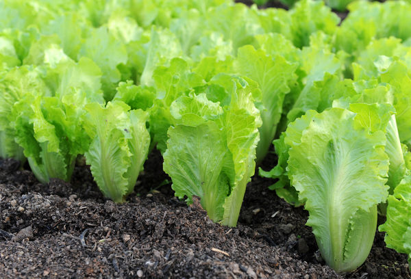 Сажаем салат в теплице из полимера