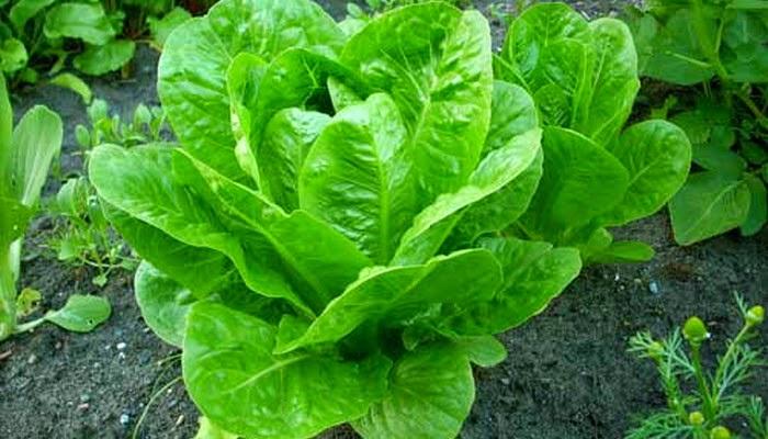 Собираем урожай салата