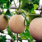 Выращиваем дыни в теплице