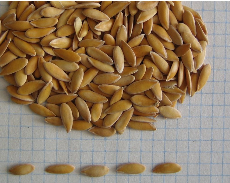Подготавливаем семена дыни для высадки