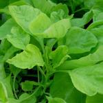 Получаем урожай салата в теплице