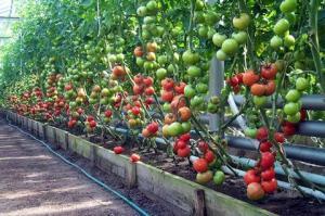 Проветриваем теплицу с помидорами