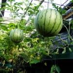 Сажаем и выращиваем арбузы