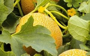 Выращиваем дыни в поликарбонатной теплице