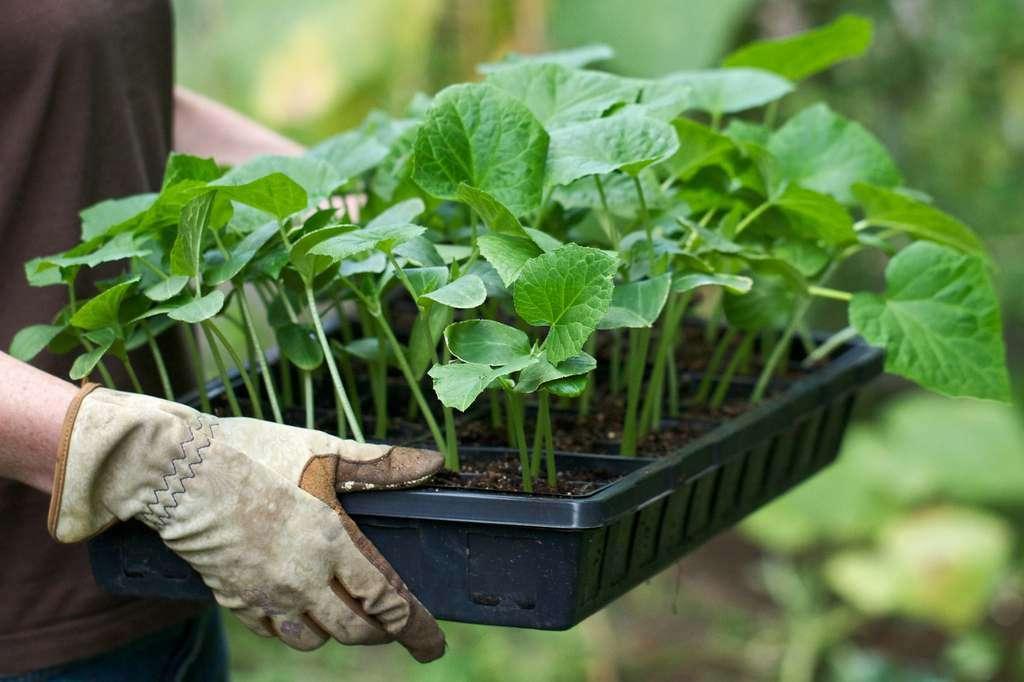Высаживаем рассаду кабачков