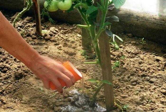 Поливка рассады томатов