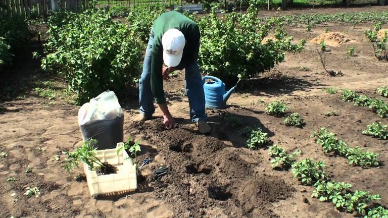 Высадка томатов в грунт