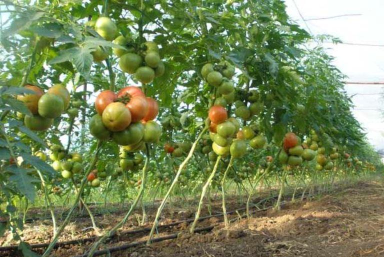 Кусты помидор Король королей