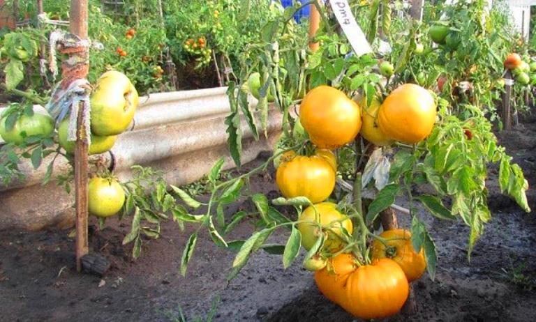 Желтые помидоры на кустах