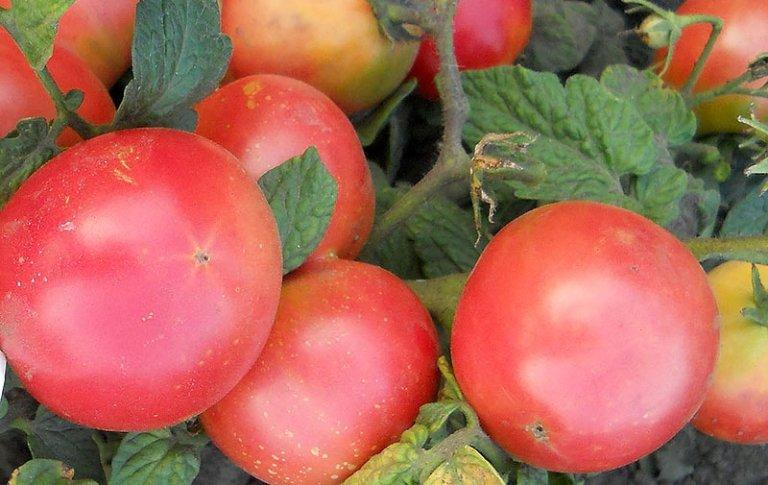 Красные плоды помидор
