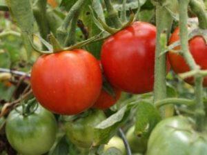 Спелые помидоры на кусту