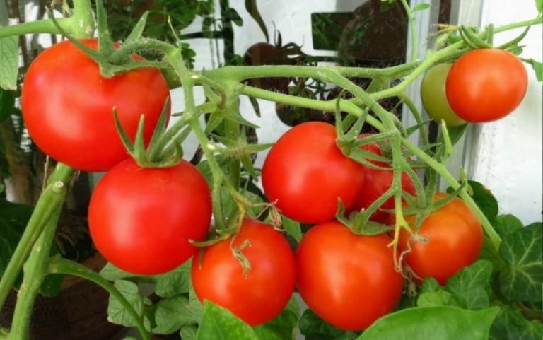 Свнька - сорт томатов
