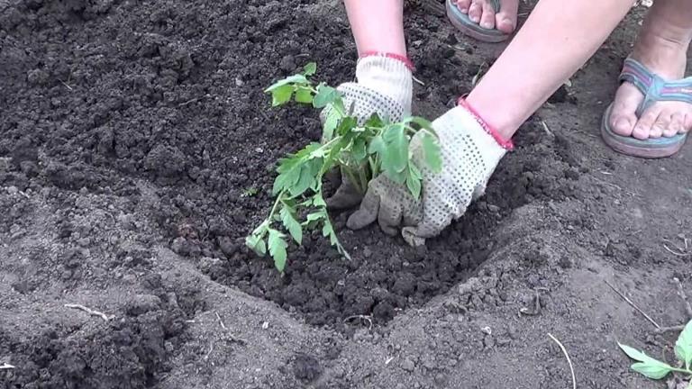 Высаживание помидоров в грунт