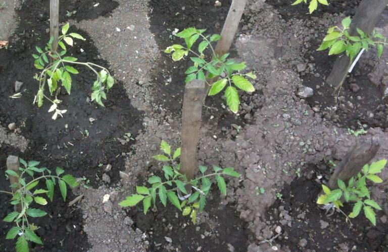 Высаживание рассады помидор